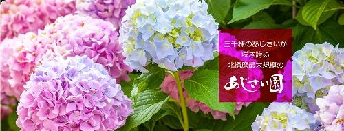 1605ajisai-hp01.jpg